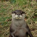 Asian otters :)