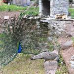 Resident peacock