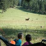 Watching the elk come into the ranch