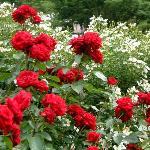 園内はバラがいっぱい