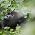 this silverback is calling to his mates or laughing at us as he had just pushed someone over!