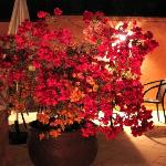 bougainville at roof terrace