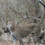 Leopard at Nagarhole NP