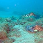 Cutlle fish
