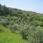 Olive groves on the trail