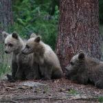 Bear watching in Wild Taiga, Kuhmo and Suomussalmi