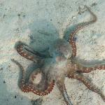 Octopus (picture was taken from the glass table in out bungalow)