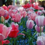 Tulips galore when I went