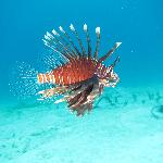 House Reef Lion Fish