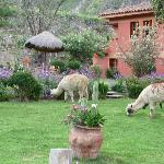 Llamas grazing on the lawn