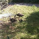Baby ducks in the tea garden