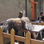Un aigle en terrasse