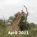 Girafas passioned