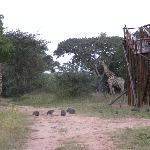 Giraffes walking around the Tree House!