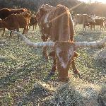 feeding the longhorns - up close