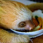 Sloth baby eating lunch