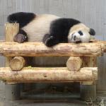 パンダ! 寝てるけど(笑)
