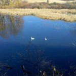 Swans in the marsh