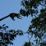 leaping brown lemur