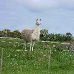 Llama who guards the lambs at Castallack