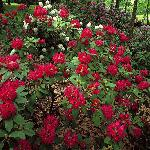 The Helen S. Layer Rhododendron Garden