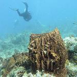 Basket coral