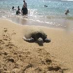 Honu at the beach!
