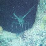 Lobster in sunken ship