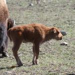 A young Bison.