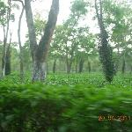 Fresh Tea Gardens on the roadside in Kaziranga