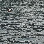 Fish Eagle feeding next to boat