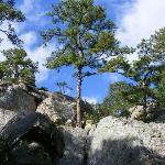 Pine Trees Aplenty!