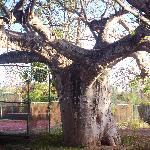 Baobab i. Hotelgarten