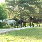 horses strolling through the camp