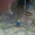 peacock showing off