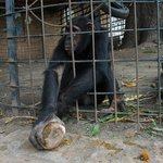 You can give nuts to this chimpansee, and it will break them with a stone and eat.