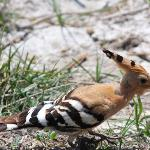 Hoopoe at S'Albufera Wetlands