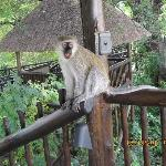 Monkey on the observation deck