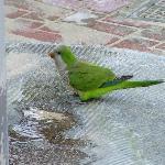 Green Parrots of Santa Ponsa!