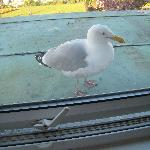 A friendly herring gull provided the wake-up call!