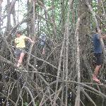traversing the mangrove forest