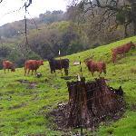 Cattle grazing by Blemie's Grave