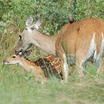 Mother with Fawn and bird