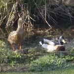 This couple arrived on our garden pond one morning in Spring 2011 and stayed around for a few we