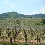 Les vignes en avril