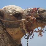 Resident Camel Bobby