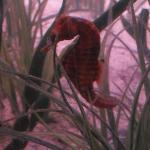 Seahorse in Saltwater tank