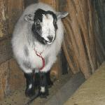 They have Pigmy Goats.  Funny!!