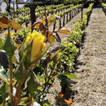 Yellow Rose in Vineyards