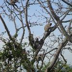 lanka monkeys